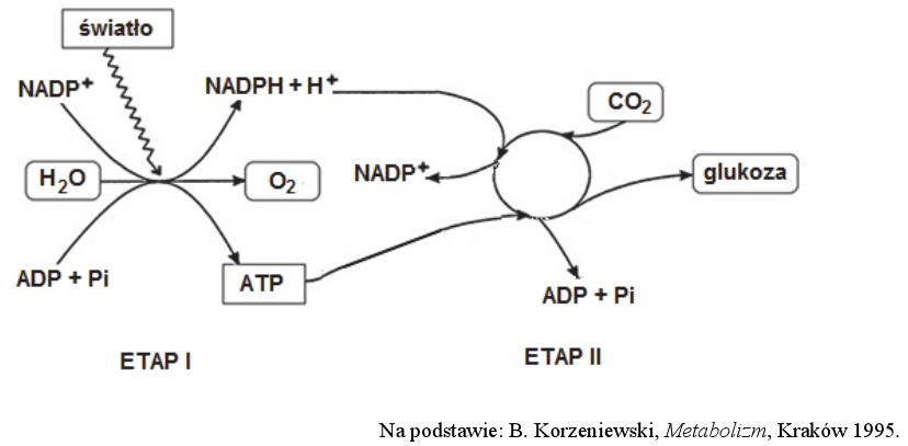 anaboliczny charakter procesu fotosyntezy