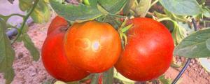 Ochrona biologiczna pomidora