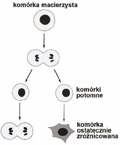 Komórki macierzyste - schemat