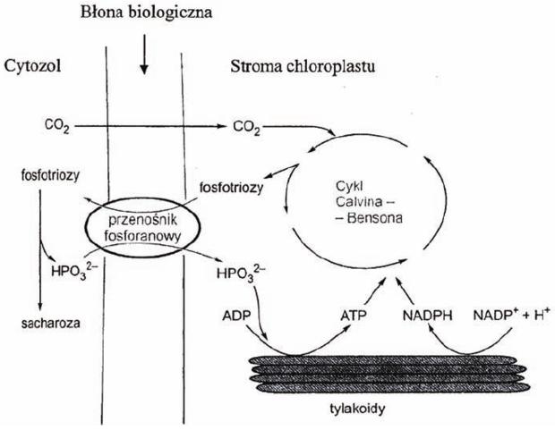 Transport fosfotrioz i fosforanów - schemat