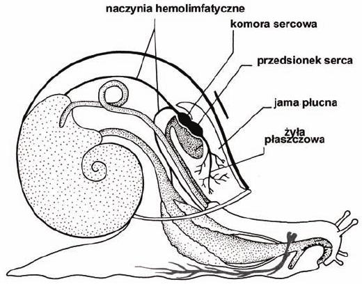 Układ krążenia ślimaka - schemat
