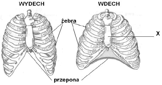 Wentylacja płuc