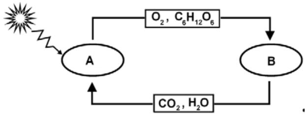 Metabolizm roślin - schemat