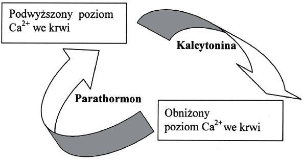 Regulacja kalcemii