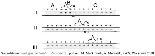 Przewodzenie impulsu nerwowego - schemat