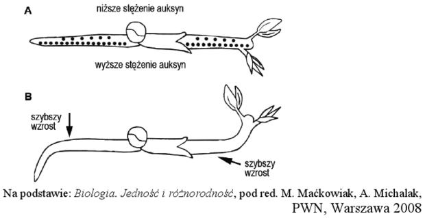 Geotropizm - schemat