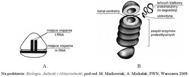 Proteasom i rybosom - schemat