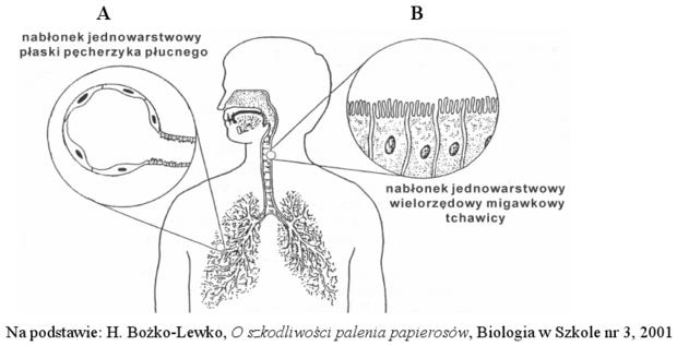 Schemat budowy układu oddechowego