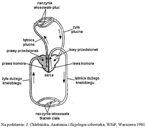 Układ krążenia człowieka - schemat