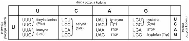 Fragment tabeli kodu genetycznego