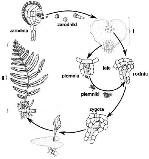Cykl życiowy - schemat