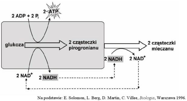 Fermentacja mleczanowa - schemat