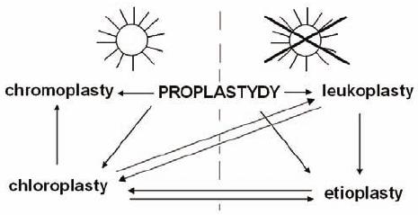 Plastydy - schemat