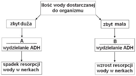 Działanie wazopresyny - schemat