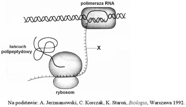 Ekspresja informacji genetycznej u prokarionta