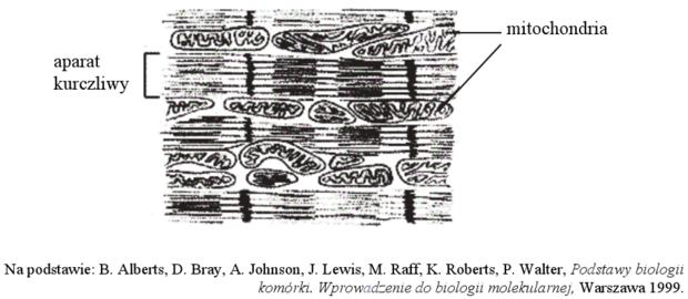 Rozmieszczenie mitochondriów