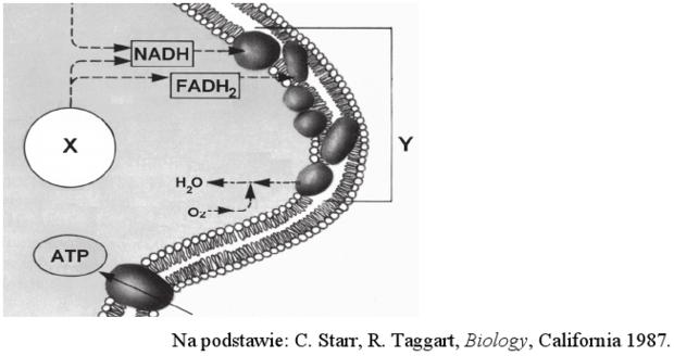Błona wewnętrzna mitochondrium