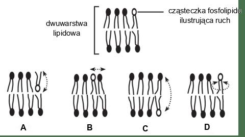 dwuwarstwa lipidowa - ruch cząsteczek fosfolipidów