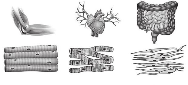tkanki mięśniowe - biceps, serce i jelito