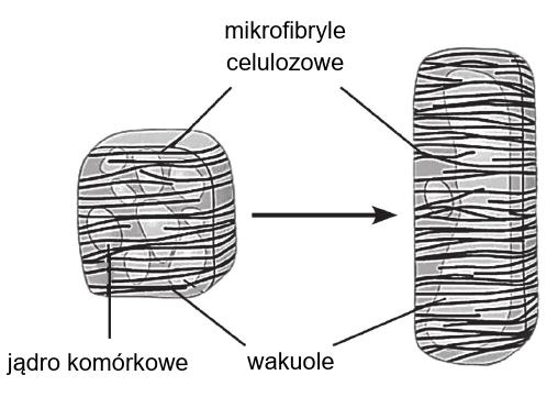 wzrost wydłużeniowy komórki roślinnej