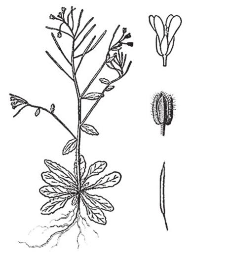rzodkiewnik pospolity (Arabidopsis thaliana)